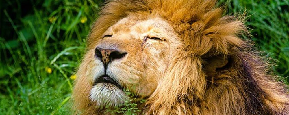 Smithsonian's National Zoo, Lion Live Cam