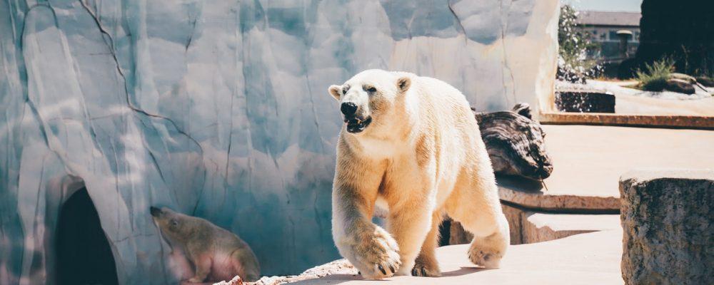 Alaska Zoo Polar Bear Camera